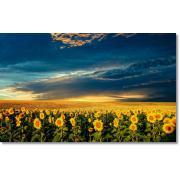Cereale-floarea soarelui cultura 2012 de la Borettini Srl