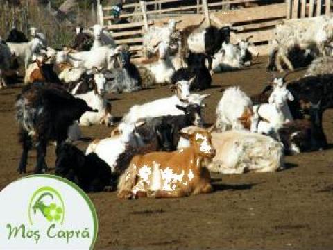 Plan de afaceri pentru ferma de capre de la Duplicom Grup Srl.