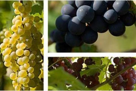 Vin de Ciumbrud alb - sec/ demisec (pet 5 l) de la S.c. Vindis S.r.l.