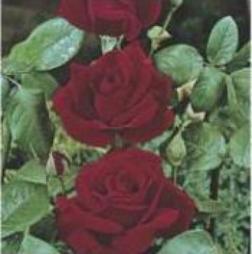 Butasi trandafiri si pomi fructiferi