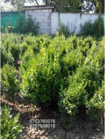 Gard viu Buxus Sempervirens de la