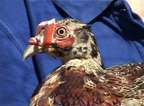 Ochelari pentru fazani