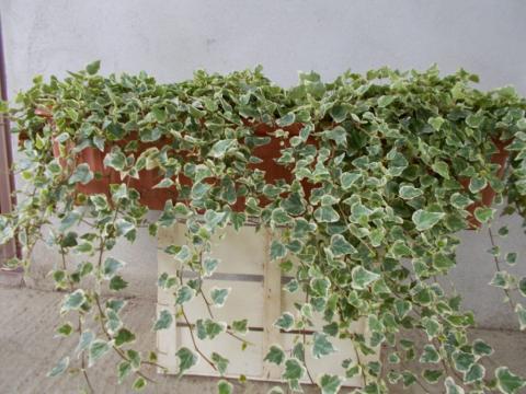 Jardiniera cu iedera decorativa de la Sc Fabrica De Flori Natura Srl